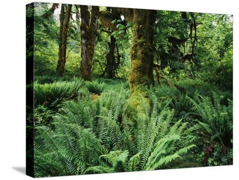 View of Clubmoss, Hoh Rainforest, Olympic National Park, Washington State, USA-Stuart Westmorland-Stretched Canvas Print