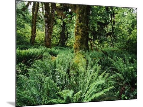 View of Clubmoss, Hoh Rainforest, Olympic National Park, Washington State, USA-Stuart Westmorland-Mounted Photographic Print
