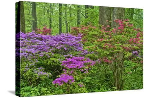 Blooming Azaleas in Forest, Winterthur Gardens, Delaware, USA--Stretched Canvas Print
