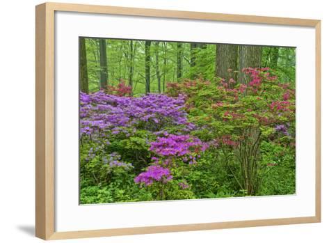 Blooming Azaleas in Forest, Winterthur Gardens, Delaware, USA--Framed Art Print