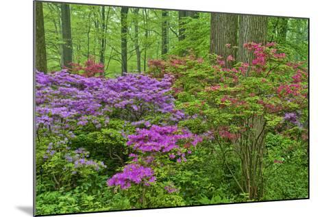 Blooming Azaleas in Forest, Winterthur Gardens, Delaware, USA--Mounted Photographic Print