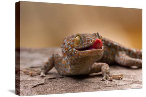 Close-Up of Tokay Gecko Lizard on Rock, North Carolina, USA--Stretched Canvas Print