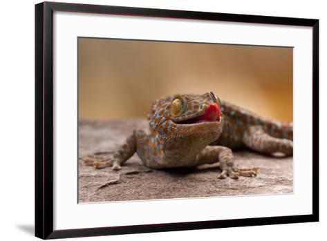 Close-Up of Tokay Gecko Lizard on Rock, North Carolina, USA--Framed Art Print