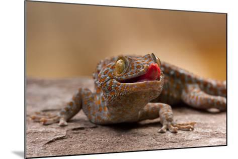 Close-Up of Tokay Gecko Lizard on Rock, North Carolina, USA--Mounted Photographic Print