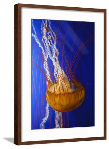 Pacific Sea Nettle Marine Life, Oregon Coast Aquarium, Newport, Oregon, USA-Rick A^ Brown-Framed Art Print