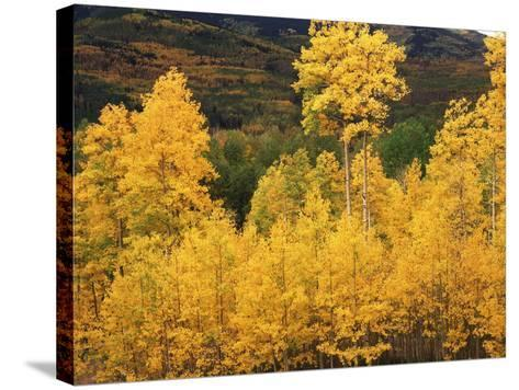View of Autumn Aspen Grove on Mountain, Telluride, Colorado, USA-Stuart Westmorland-Stretched Canvas Print