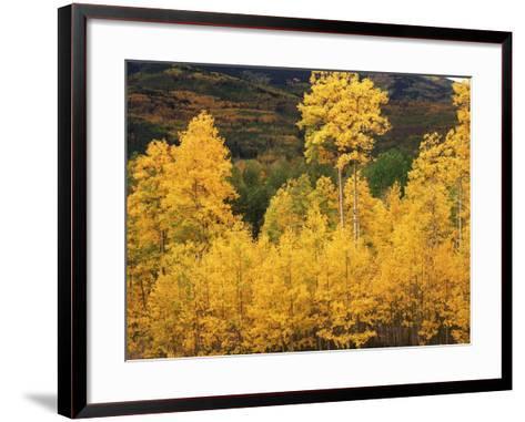 View of Autumn Aspen Grove on Mountain, Telluride, Colorado, USA-Stuart Westmorland-Framed Art Print