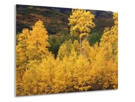 View of Autumn Aspen Grove on Mountain, Telluride, Colorado, USA-Stuart Westmorland-Metal Print