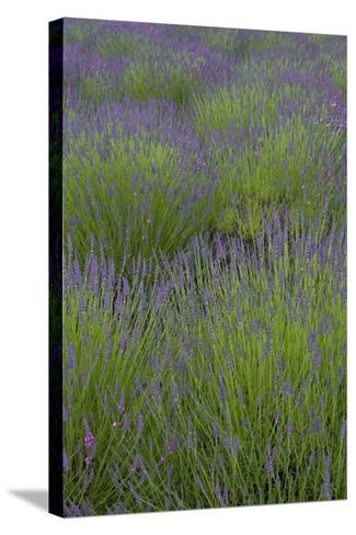 Farm Fields in Bloom at Lavender Festival, Sequim, Washington, USA-John & Lisa Merrill-Stretched Canvas Print