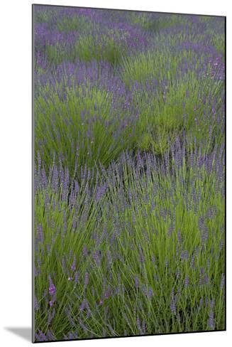 Farm Fields in Bloom at Lavender Festival, Sequim, Washington, USA-John & Lisa Merrill-Mounted Photographic Print