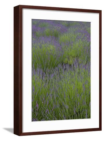 Farm Fields in Bloom at Lavender Festival, Sequim, Washington, USA-John & Lisa Merrill-Framed Art Print