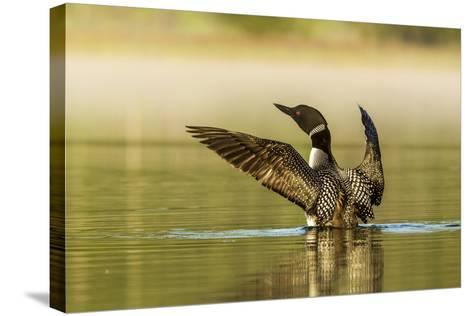 Male Common Loon Bird Drying His Wings on Beaver Lake Near Whitefish, Montana, USA-Chuck Haney-Stretched Canvas Print