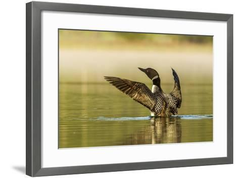 Male Common Loon Bird Drying His Wings on Beaver Lake Near Whitefish, Montana, USA-Chuck Haney-Framed Art Print