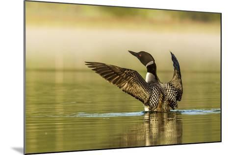Male Common Loon Bird Drying His Wings on Beaver Lake Near Whitefish, Montana, USA-Chuck Haney-Mounted Photographic Print