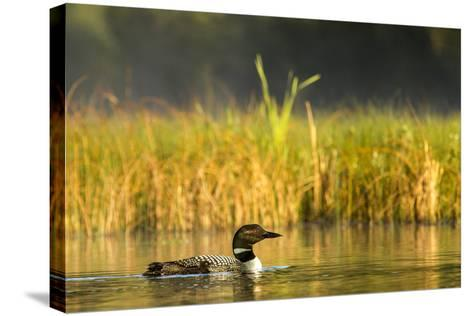 Female Common Loon Bird with Newborn Chick on Beaver Lake, Whitefish, Montana, USA-Chuck Haney-Stretched Canvas Print