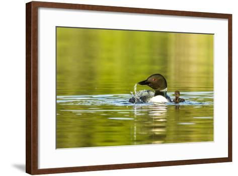Female Common Loon Bird with Newborn Chick on Beaver Lake, Whitefish, Montana, USA-Chuck Haney-Framed Art Print