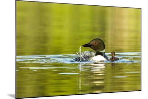 Female Common Loon Bird with Newborn Chick on Beaver Lake, Whitefish, Montana, USA-Chuck Haney-Mounted Photographic Print