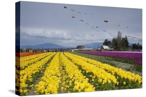 Tulips in Bloom, Annual Skagit Valley Tulip Festival, Mt Vernon, Washington, USA-John & Lisa Merrill-Stretched Canvas Print