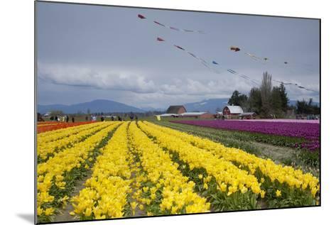 Tulips in Bloom, Annual Skagit Valley Tulip Festival, Mt Vernon, Washington, USA-John & Lisa Merrill-Mounted Photographic Print