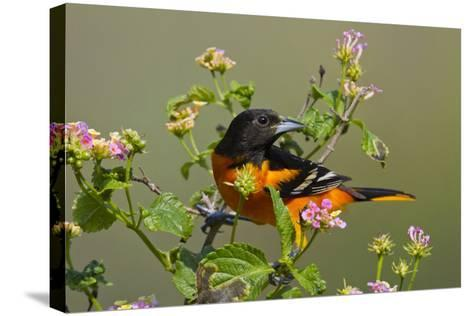 Baltimore Oriole Bird Foraging During Migration on South Padre Island, Texas, USA-Larry Ditto-Stretched Canvas Print