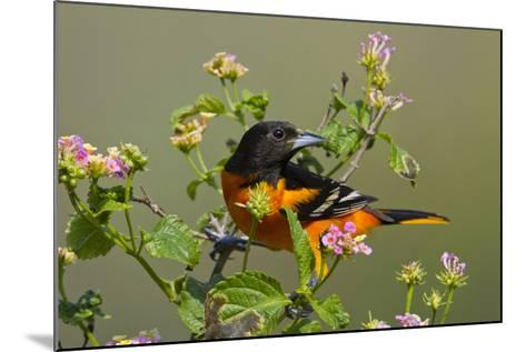 Baltimore Oriole Bird Foraging During Migration on South Padre Island, Texas, USA-Larry Ditto-Mounted Photographic Print