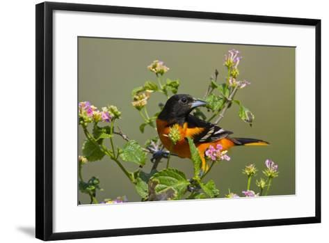 Baltimore Oriole Bird Foraging During Migration on South Padre Island, Texas, USA-Larry Ditto-Framed Art Print