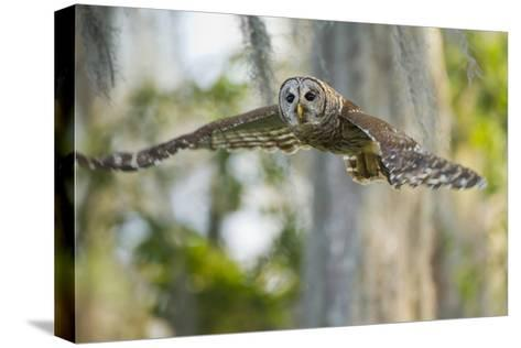 Barred Owl (Strix Varia) in Bald Cypress Forest on Caddo Lake, Texas, USA-Larry Ditto-Stretched Canvas Print