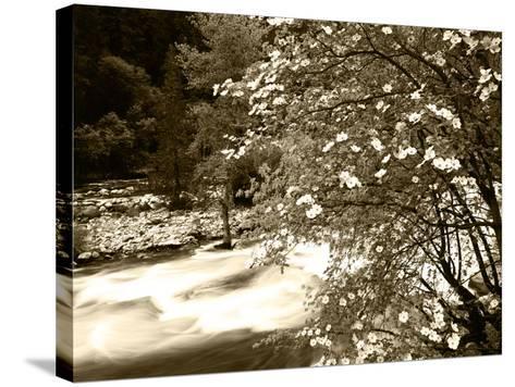 Pacific Dogwood Tree, Merced River, Yosemite National Park, California, USA-Adam Jones-Stretched Canvas Print