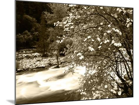 Pacific Dogwood Tree, Merced River, Yosemite National Park, California, USA-Adam Jones-Mounted Photographic Print