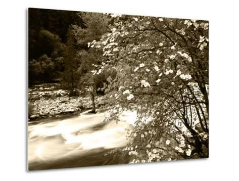 Pacific Dogwood Tree, Merced River, Yosemite National Park, California, USA-Adam Jones-Metal Print