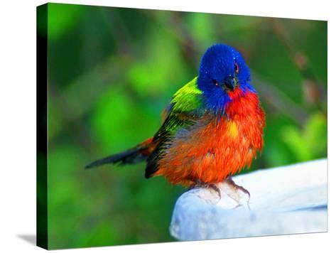 Perplexed Painted Bunting (Male) Bird, Immokalee, Florida, USA-Bernard Friel-Stretched Canvas Print