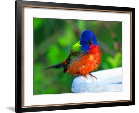Perplexed Painted Bunting (Male) Bird, Immokalee, Florida, USA-Bernard Friel-Framed Art Print