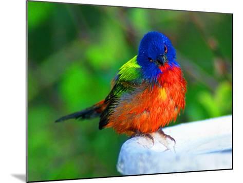 Perplexed Painted Bunting (Male) Bird, Immokalee, Florida, USA-Bernard Friel-Mounted Photographic Print