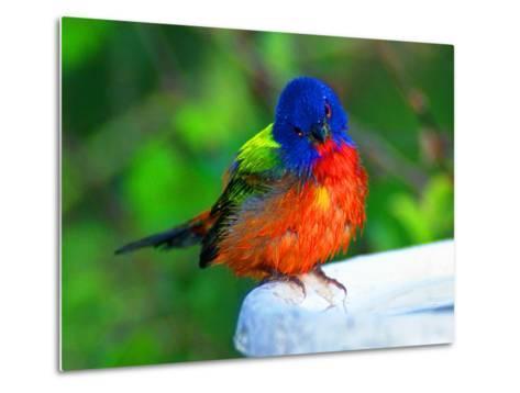 Perplexed Painted Bunting (Male) Bird, Immokalee, Florida, USA-Bernard Friel-Metal Print