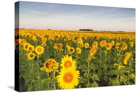 Sunflower Field in Morning Light in Michigan, North Dakota, USA-Chuck Haney-Stretched Canvas Print
