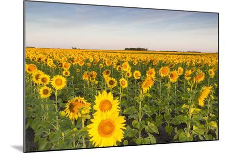 Sunflower Field in Morning Light in Michigan, North Dakota, USA-Chuck Haney-Mounted Photographic Print