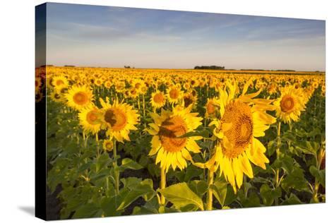 Sunflower Field in Morning Light in Michigan, North Dakota, USA-Chuck Haney-Stretched Canvas Print