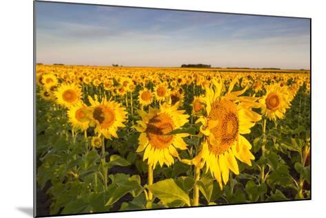 Sunflower Field in Morning Light in Michigan, North Dakota, USA-Chuck Haney-Mounted Photographic Print