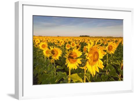 Sunflower Field in Morning Light in Michigan, North Dakota, USA-Chuck Haney-Framed Art Print