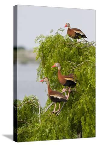 Black-Bellied Whistling Duck Perched in South Texas Habitat, USA-Larry Ditto-Stretched Canvas Print