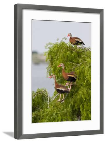 Black-Bellied Whistling Duck Perched in South Texas Habitat, USA-Larry Ditto-Framed Art Print