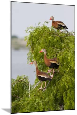 Black-Bellied Whistling Duck Perched in South Texas Habitat, USA-Larry Ditto-Mounted Photographic Print