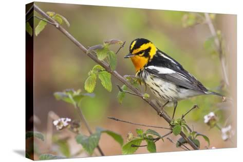 Blackburnian Warbler Bird Adult Male Foraging for Insects in Lantana Garden-Larry Ditto-Stretched Canvas Print