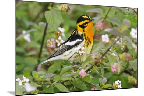 Blackburnian Warbler Bird Adult Male Foraging for Insects in Lantana Garden-Larry Ditto-Mounted Photographic Print