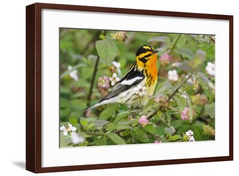 Blackburnian Warbler Bird Adult Male Foraging for Insects in Lantana Garden-Larry Ditto-Framed Art Print
