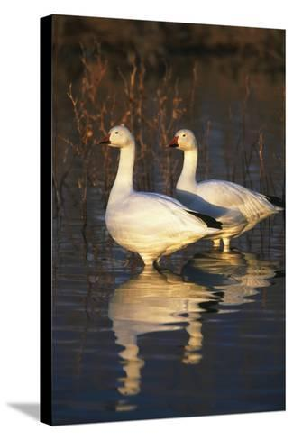 Geese Standing in Pool, Bosque Del Apache National Wildlife Refuge, New Mexico, USA-Hugh Rose-Stretched Canvas Print