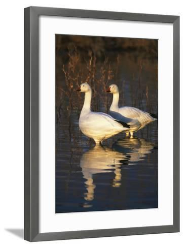 Geese Standing in Pool, Bosque Del Apache National Wildlife Refuge, New Mexico, USA-Hugh Rose-Framed Art Print