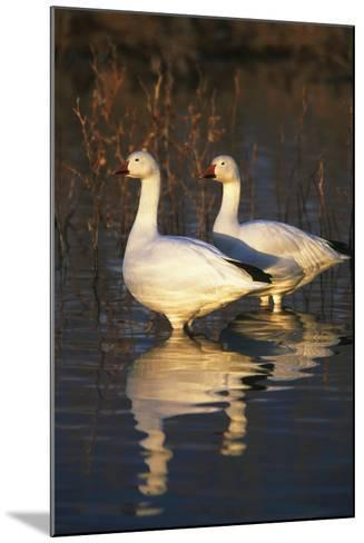 Geese Standing in Pool, Bosque Del Apache National Wildlife Refuge, New Mexico, USA-Hugh Rose-Mounted Photographic Print