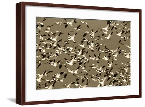 Snow Geese Bird, Bosque Del Apache National Wildlife Refuge, New Mexico, USA-Hugh Rose-Framed Art Print