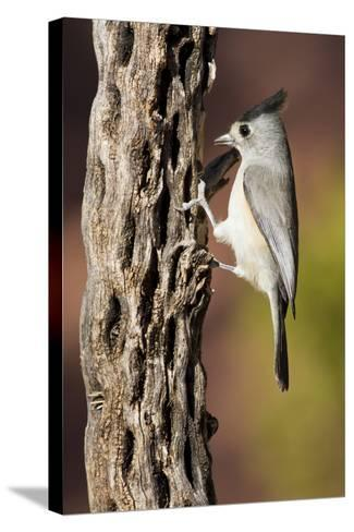 Black-Crested Titmouse Bird Foraging on Cholla Cactus, Davis Mountains, Texas, USA-Larry Ditto-Stretched Canvas Print